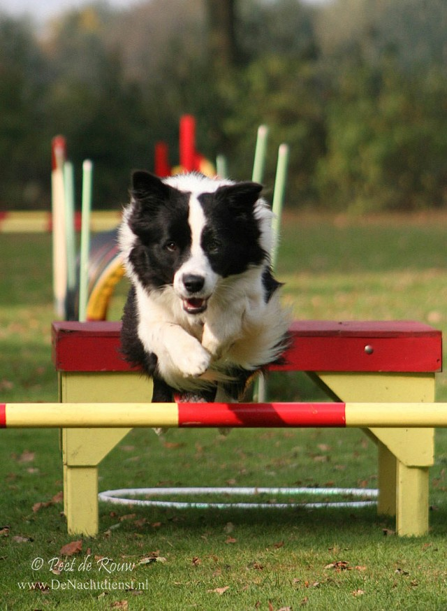 Border Collie jumping over bar in agility competition
